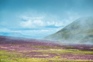Heather in bloom in Scotland