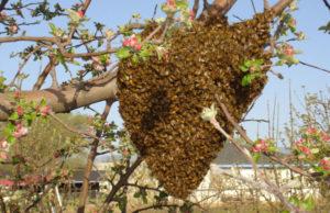 Bee_Swarm healthy bees healthy gardens